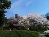 20120418_sakura.JPG